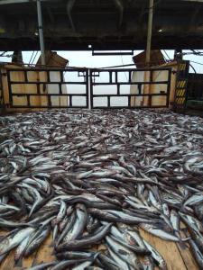 «Профессор Кагановский» приступил к лососевой съемке