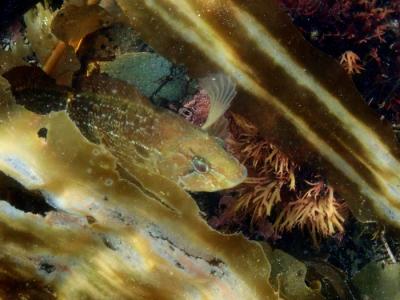 Бурый терпуг в зарослях водорослей