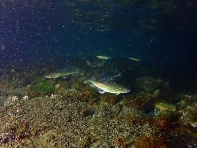 Дальневосточная навага - характерный прибрежный вид