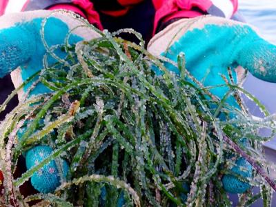 Икра сельди на морской траве