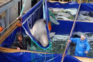 The release of Beluga whales is successful