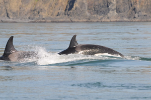 New killer whale monitoring data