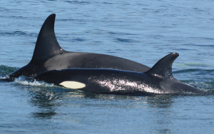 Orcas migrate to the South-East